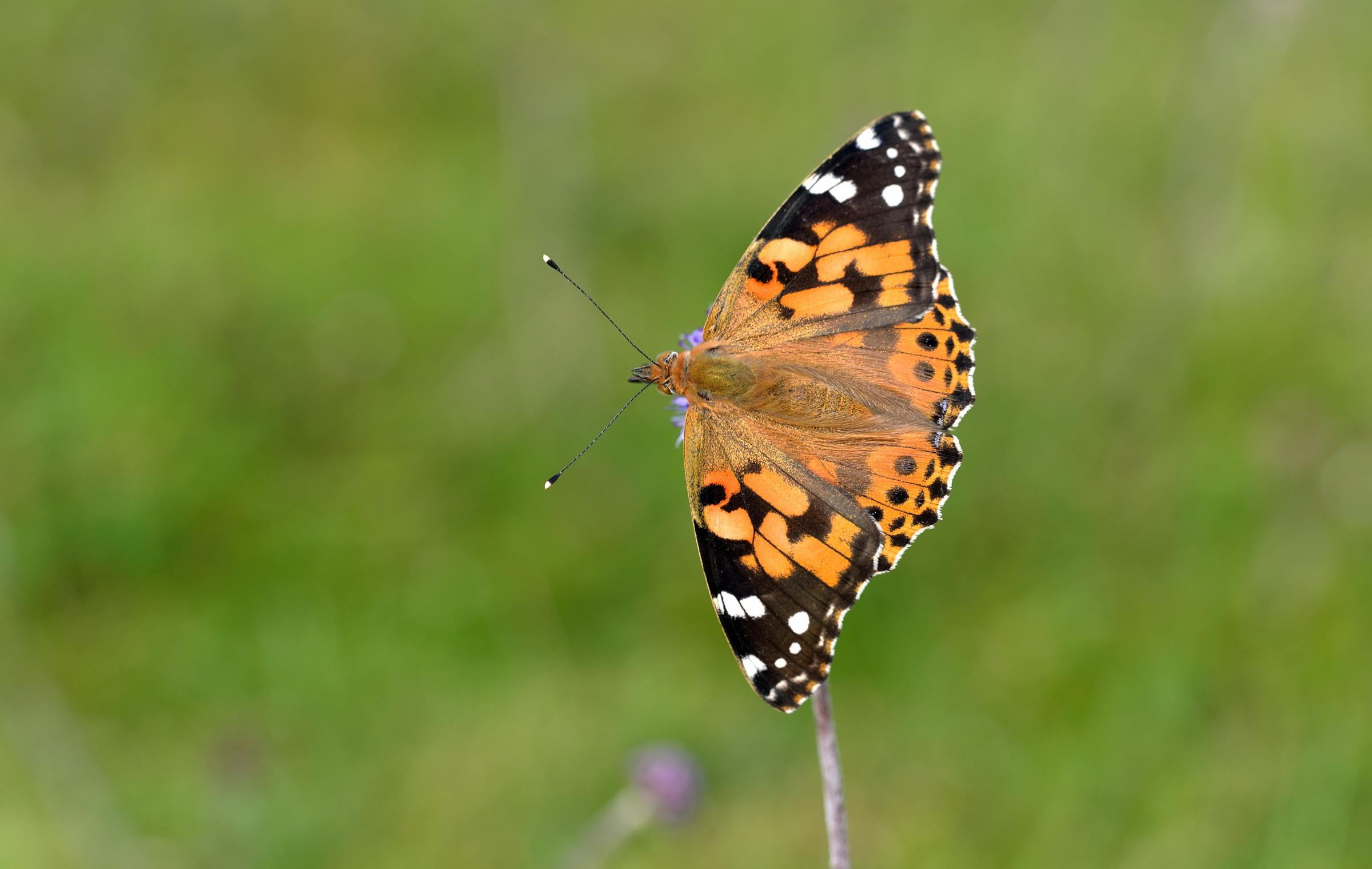 This is where the rare Painted Lady Butterfly has been spotted in Cornwall so far