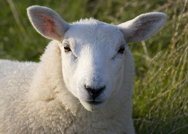 Sheep (Photo by Michael Maggs, Wikimedia Commons)