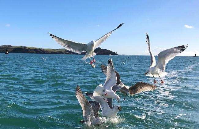 Seagulls after our mackerel, by Kimi Widdicombe