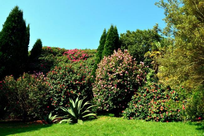 A myriad of camellias in flower at Glendurgan. Picture: National Trust Images/Mary Cobill
