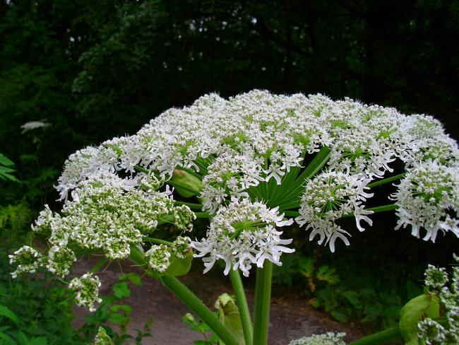 Giant hogweed is a menace in damp areas. Photo: Natubico/Wikimedia Commons