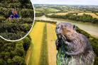 A beaver invasion is feared at Tregothnan Estate  Main and inset picture: SWNS