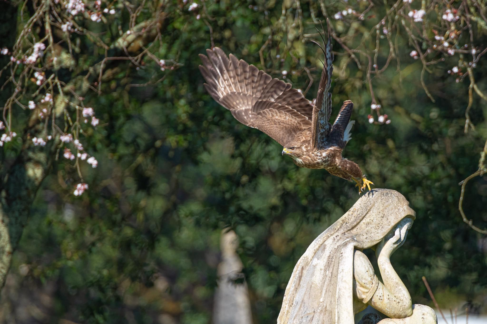 Cemetery buzzard, by Steve Lampshire