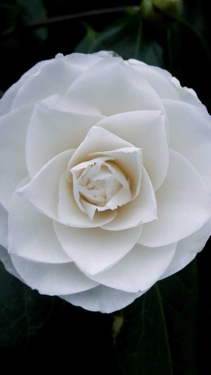 White camellia, by Emma Annear