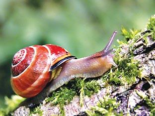 Falmouth Packet: HOUSE ON HIS BACK: A snail snapped by Barry Green at Monkwood nature reserve.