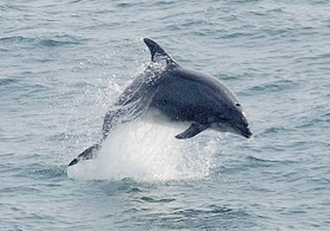 Two boat skippers punished over young dolphin harassed and killed off Padstow