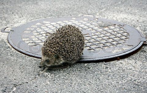 (This is not the actual hedgehog, it's merely a visual aid.)