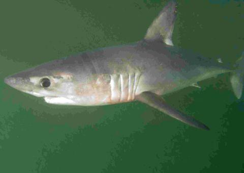 Fishermen warned as 'critically endangered' Porbeagle sharks landed