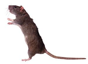 Falmouth Packet: Can you help us trap the web vote rat?