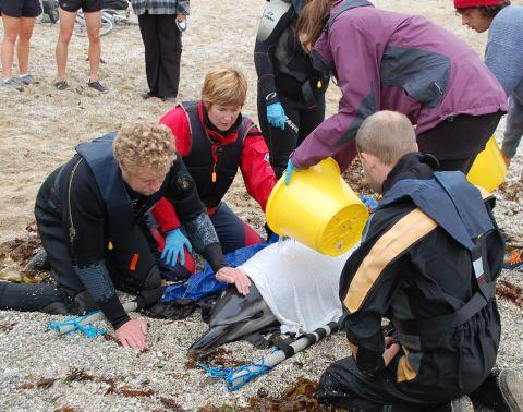 Stranded dolphin on Falmouth beach 'put down'