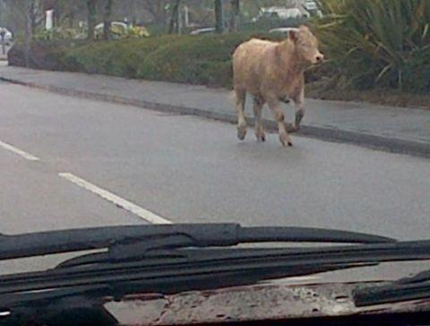 Falmouth Packet: This cow was spotted on the access road to Asda Penryn. Credit: Rachel Jones