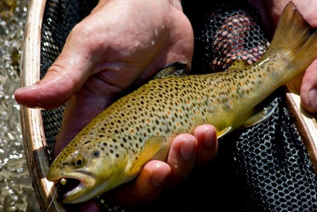 'Extraordinary' trout with tolerance to heavily polluted water found in Hayle