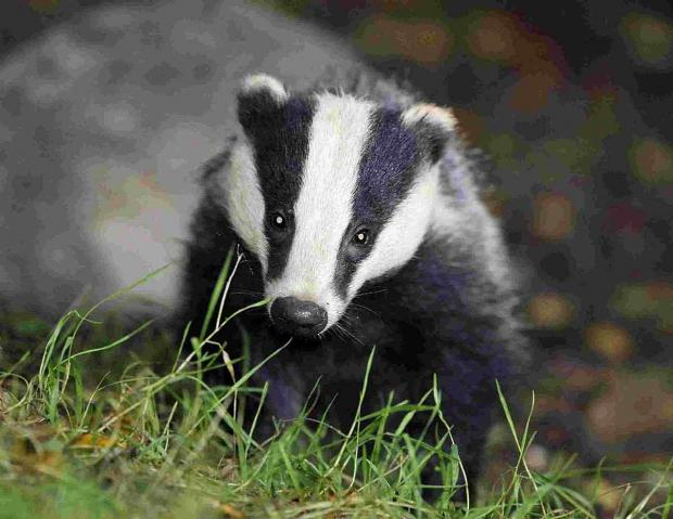 Falmouth Packet: Badger vaccinations to begin in West Cornwall in place of cull