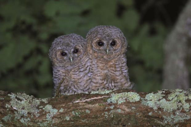 Tawny owl chicks are among the species supported by legacies to the Cornwall Wildlife Trust. Photo: Terry Dunstan