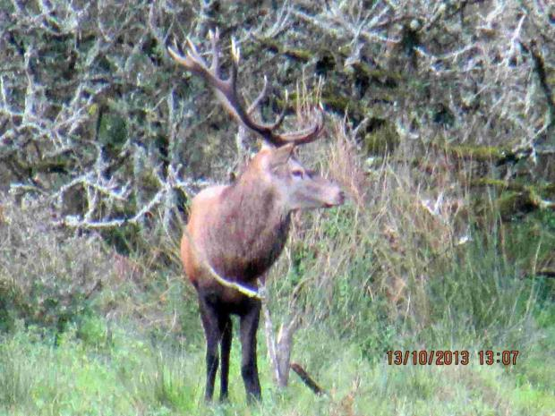 Majestic stag spotted near Stithians: PICTURE