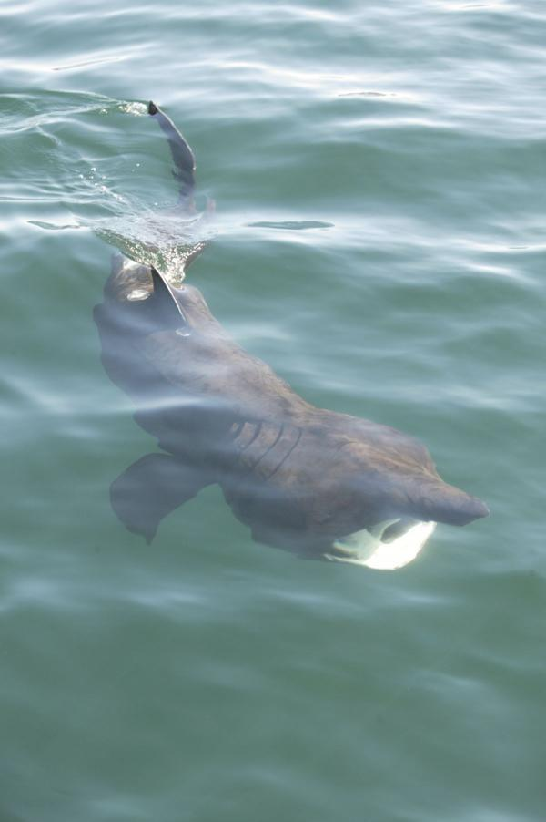 Basking sharks the 'star of the show' at Cornwall Wildlife Trust Discovery Day