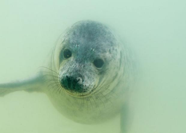 Seals hospitalised in Gweek with broken jaws due to storms