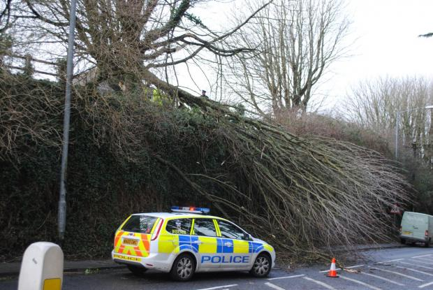 Huge Dracaena Avenue tree brought down by wind
