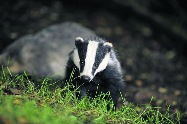 Cornish badgers safe? National roll out of inhumane and ineffective cull scrapped