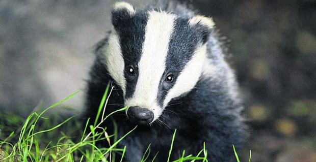 Secret government tests to kill badgers with exhaust fumes 'scandalous'