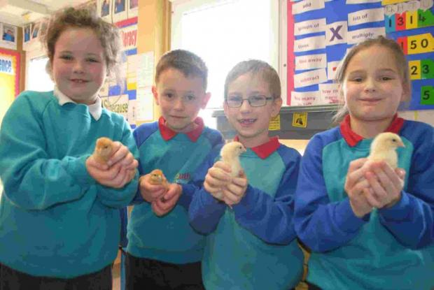 Falmouth Primary pupils keep a chick