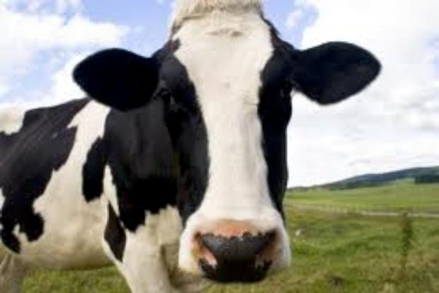 Cornish man killed by 'stampeding' cows