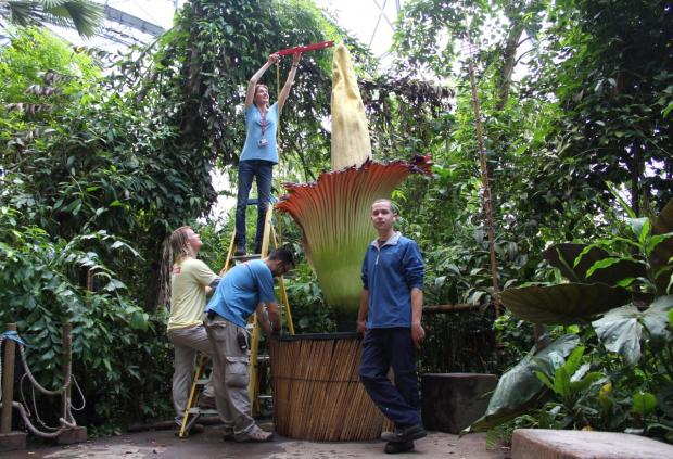 Eden Project Titan arum expert Tim Grigg with the most recent bloom in the Rainforest Biome.