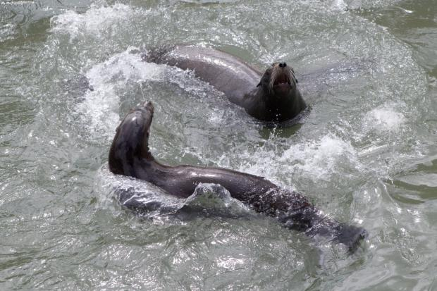 Andre the 'ASBO' sea lion finds new home, and pal, at Cornish Seal Sanctuary