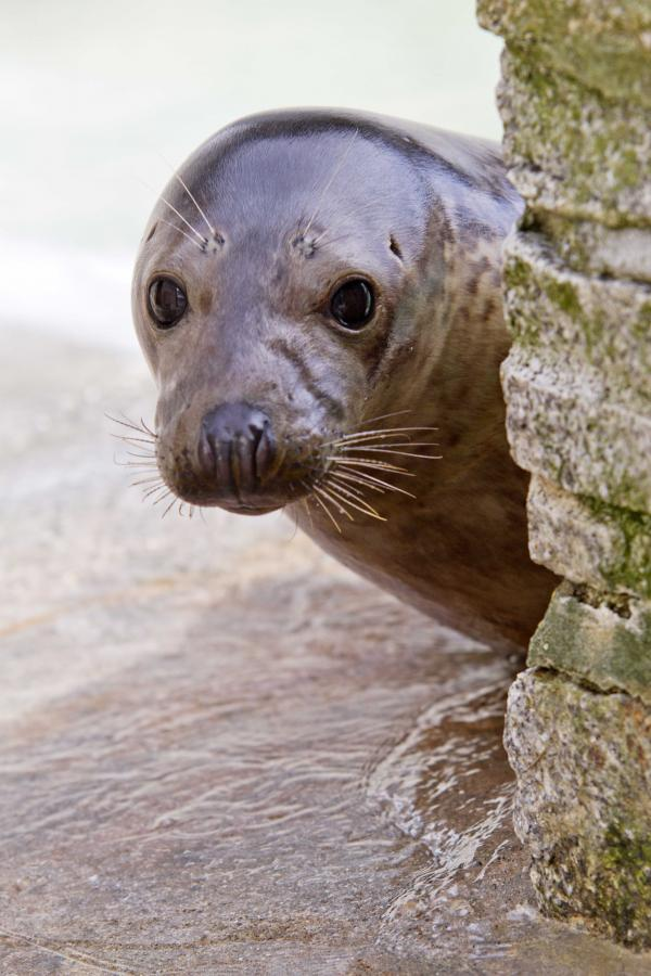 Wandering seal flown home to Gweek after ending up in Portugal