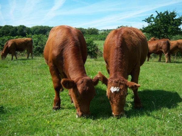 Find out how these Redruth cattle won a national award