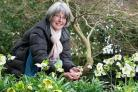 Photograph by Emily Whitfield-Wicks. Wendy Perry - Hellebore day. Wendy in her garden with some of her Hellebors. Truro. (53063738)
