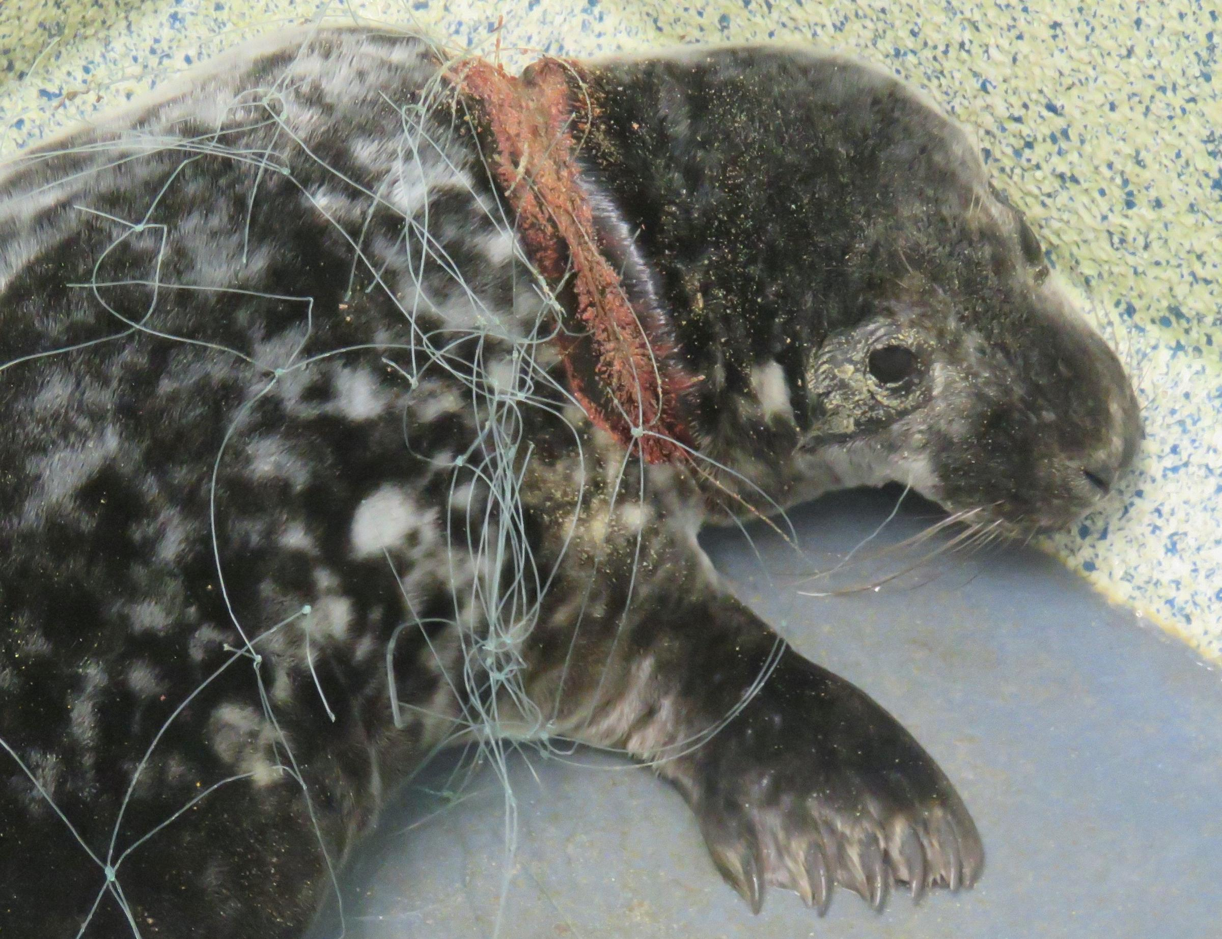 Entangled baby seal. Picture: Sue Sayer