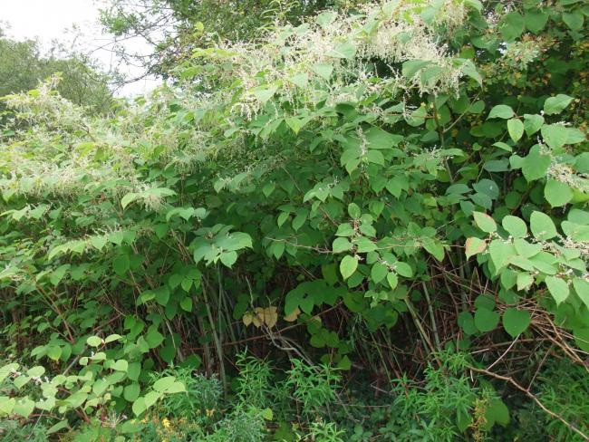 Hope amid knotweed 'crisis'