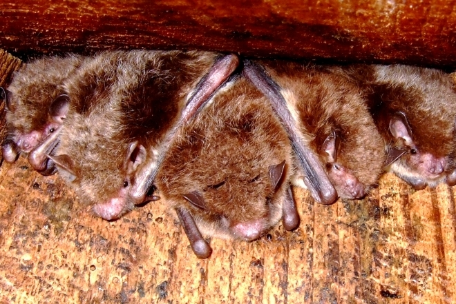 Daubenton's bats at Argal Lake
