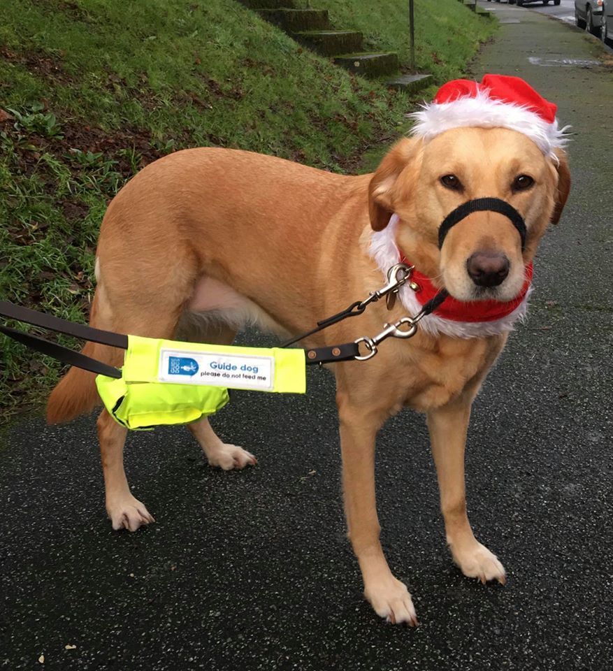 Guide dog Jackie looking festive, taken by Nigel Kitto