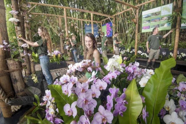 The Eden Project horticulture team prepare the orchid display in Eden's Rainforest Biome for the Costa Rica Festival. Photograph by Emily Whitfield-Wicks