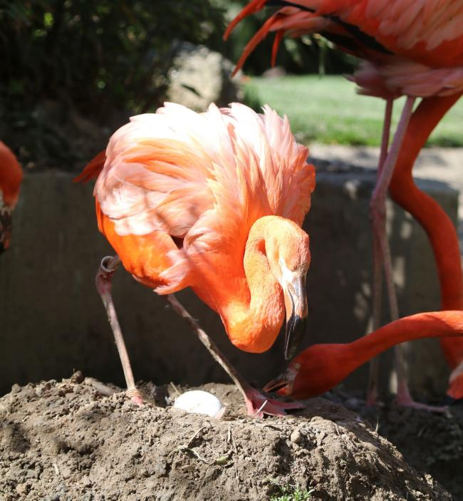 It is the first flamingo egg to be laid at Paradise Park in ten years